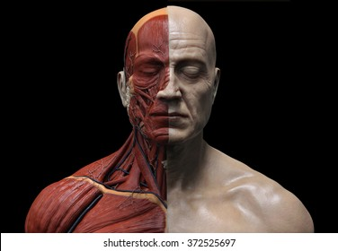 Human anatomy  ecorche Male Model  muscle anatomy of the face neck and chest  front view