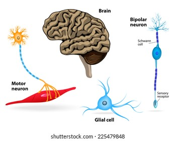 Pineal Gland Images, Stock Photos & Vectors   Shutterstock
