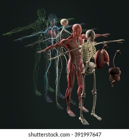 Human anatomy exploded view, deconstructed. Separate elements muscle, bone, organs, nervous system, lymphatic system, vascular system.