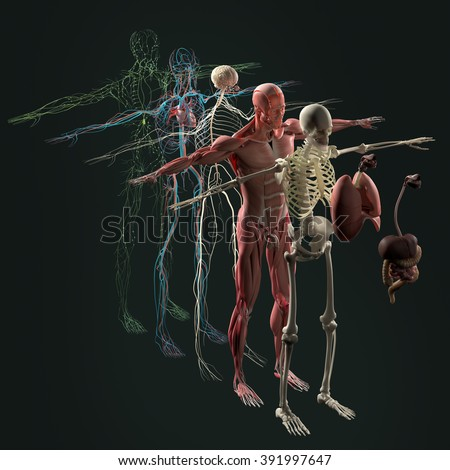 Human Anatomy Exploded View Deconstructed Separate Stockillustration ...