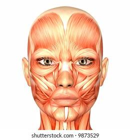 Human Anatomy -  Face
