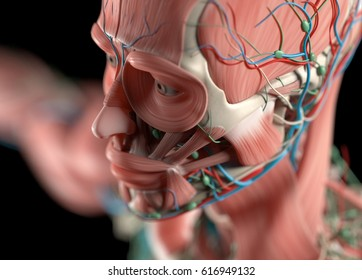 Human anatomy face, cheek, close up. Muscular, skeletal, vascular & nervous system. Beautiful, professional lighting. 3D illustration.
