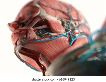 Human anatomy face, jaw, nose. Muscular, skeletal, vascular & nervous system. Beautiful, professional lighting. 3D illustration.
