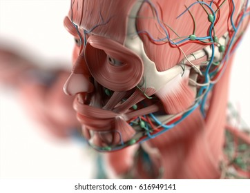 Human anatomy face, jaw,cheek, nose. Muscular, skeletal, vascular & nervous system. Beautiful, professional lighting. 3D illustration.