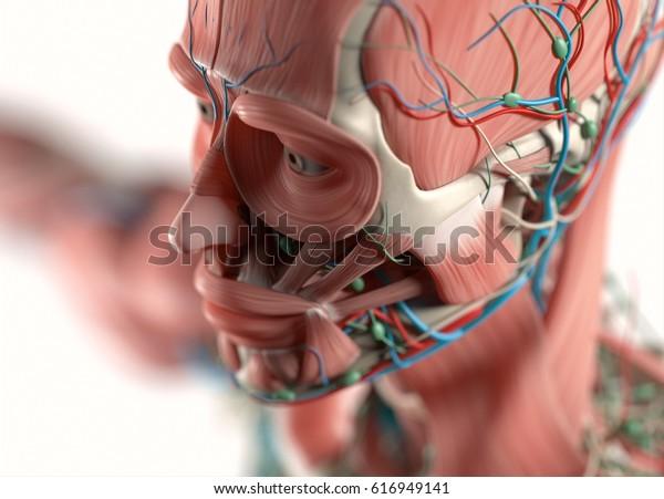 Human anatomy face, jaw,cheek, nose. Muscular, skeletal, vascular & nervous system. Beautiful, professional lighting. 3D illustration.