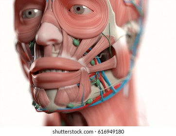 Human anatomy face, jaw,eyes, nose. Muscular, skeletal, vascular & nervous system. Beautiful, professional lighting. 3D illustration.