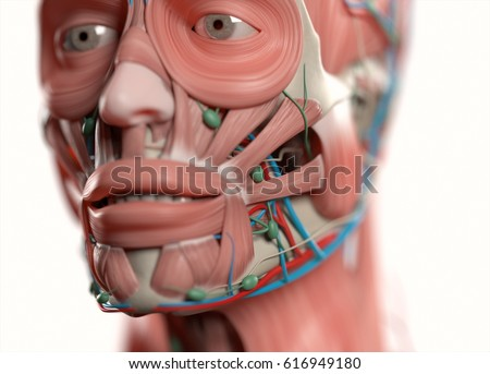 Human Anatomy Face Jaweyes Nose Muscular Stock Illustration