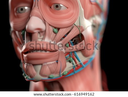 Human Anatomy Face Nose Eyes Lips Muscular Stock Illustration