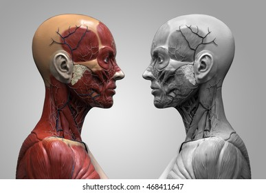 Human anatomy of a female  - muscle anatomy of the face neck and shoulder of a female side view in colors and in black and white  , realistic 3d rendering