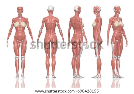 human anatomy pictures female