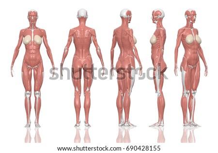 Human Anatomy Female Muscles 3 D Illustration Stock Illustration