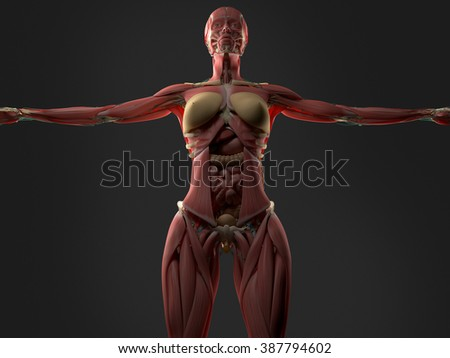 Womens Anatomy Diagram Upper Body Car Wiring Diagrams Explained