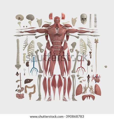 Human Anatomy Flat Lay Illustration Body Stock Illustration