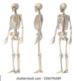 Human Anatomy full body male skeleton. Three views. Rear and front perspectives  and side, on white background. 3d illustration.