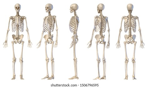 Human Anatomy full body male skeleton. Five views. Two perspectives, Front rear and side on white background. 3d illustration.