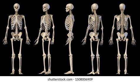 Human Anatomy full body male skeleton. Five views. Two perspectives, Front rear and side on black background. 3d illustration.