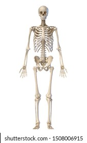 Human Anatomy full body male skeleton. Front view on white background. 3d illustration.
