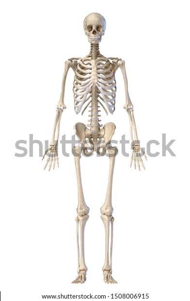 diagram of male skeleton human anatomy full body male skeleton stock illustration 1508006915  human anatomy full body male skeleton