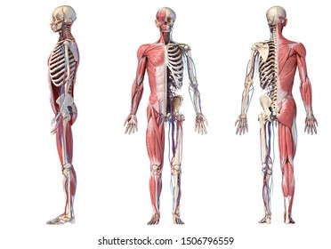Human Anatomy full body skeletal, muscular and cardiovascular systems. Three views, side, front, back, on white background. 3d Illustration