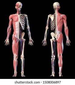 Human Anatomy full body skeletal, muscular and cardiovascular systems. Front and back views, on black background. 3d Illustration
