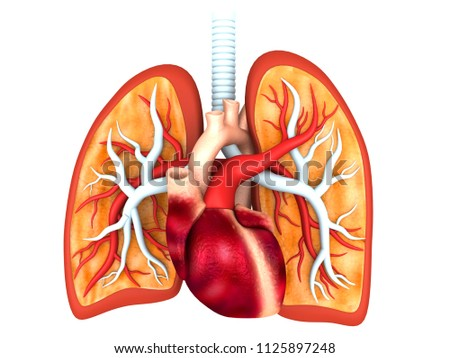 Human Anatomy Heart Lungs 3 D Render Stock Illustration 1125897248