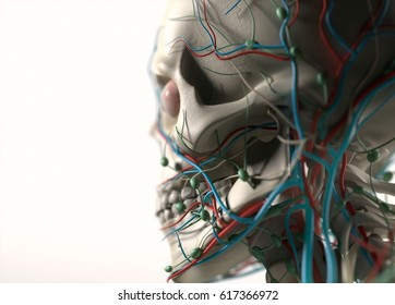Human anatomy jaw, cheek and skull side view. Skeletal, organs, vascular, lymph and nervous systems. Professional lighting and rendering. 3d illustration.