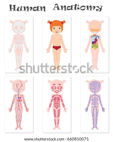 Human Anatomy Kids Circulatory Skeletal Nervous Stock Illustration