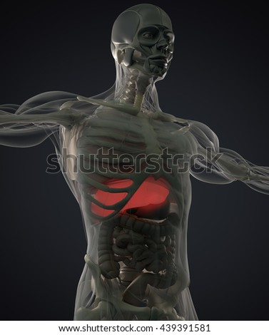 Human Anatomy Liver Xray Like View Stock Illustration Royalty Free