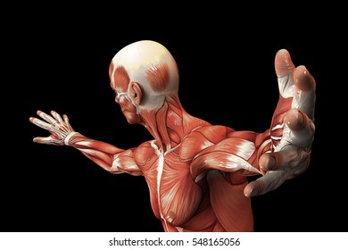 Human Anatomy - Male Muscles. 3D illustration.