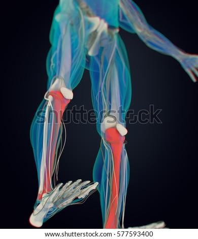 Human Anatomy Male Tibia Shin Bone Stock Illustration 577593400 ...
