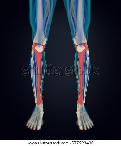 Human Anatomy Male Tibia Shin Bone Stock Illustration 577593490 ...