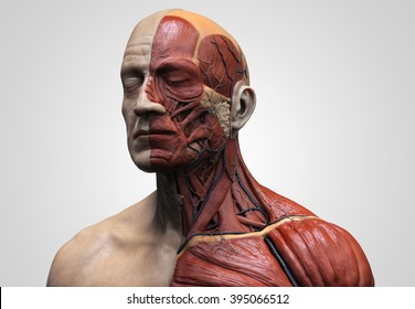 Human anatomy - muscle anatomy of the face neck and chest , medical image reference of human anatomy in 3D realistic render