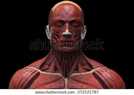 Human Anatomy Muscle Anatomy Face Neck Stock Illustration 372525787 ...