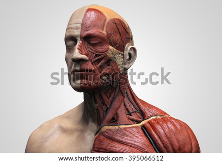 Human Anatomy Muscle Anatomy Face Neck Stockillustration 395066512 ...