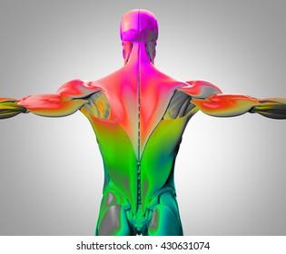 Human anatomy, muscle groups. Torso back.. 3d illustration.