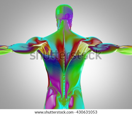 Human Anatomy Muscle Groups Torso Back Stock Illustration 430631053