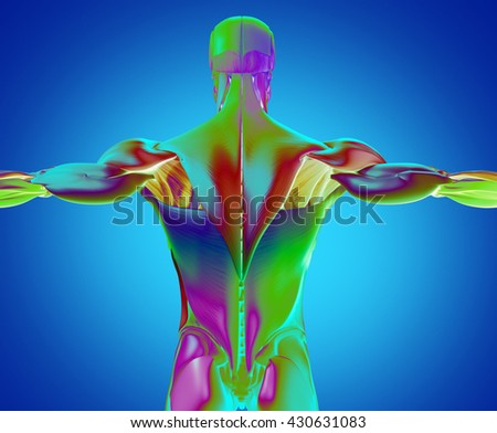 Human Anatomy Muscle Groups Torso Back Stock Illustration 430631083