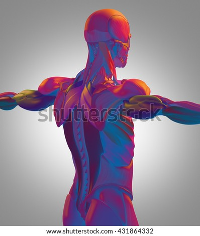 Human Anatomy Muscle Groups Torso Back Stock Illustration Royalty