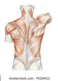 human anatomy - muscles back