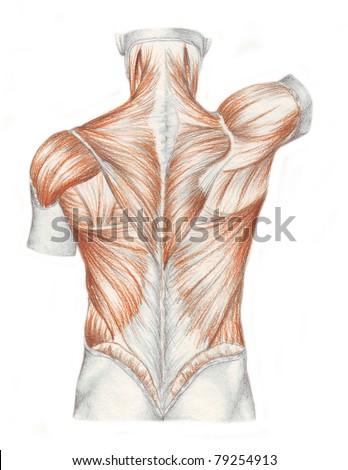 Human Anatomy Muscles Back Stock Illustration 79254913 Shutterstock