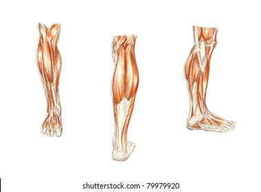 Leg Anatomy Images, Stock Photos & Vectors | Shutterstock