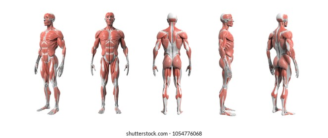 Human anatomy muscular system 3d rendering with Clipping path