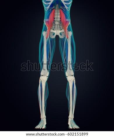 Human Anatomy Psoas Muscle Soul Muscle Stock Illustration 602151899 ...