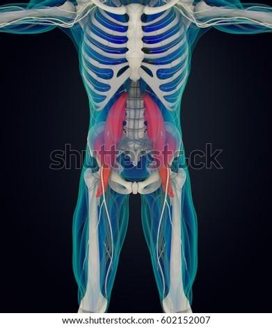 Human Anatomy Psoas Muscle Soul Muscle Stock Illustration 602152007 ...