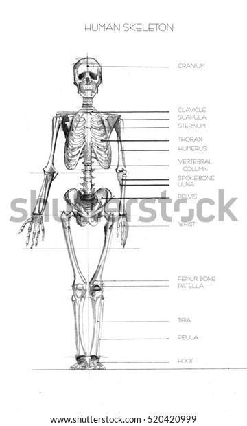 realistic detailed skeleton of a full-length