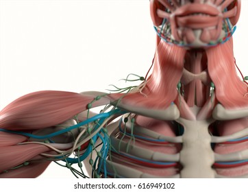 Human anatomy shoulder, neck, sternum, chest. Muscular, skeletal, vascular & nervous system. Beautiful, professional lighting. 3D illustration.
