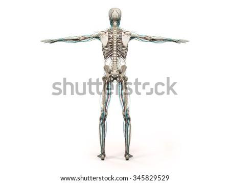 Human Anatomy Showing Back Full Body Stock Illustration 345829529