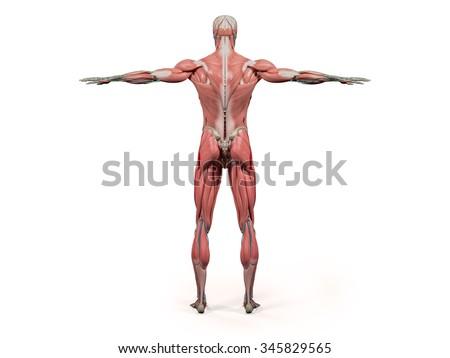 Human Anatomy Showing Back Full Body Stock Illustration 345829565
