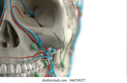 Human anatomy showing close-up of skull, veins, lymph nodes and teeth, on plain white background, with depth of field.