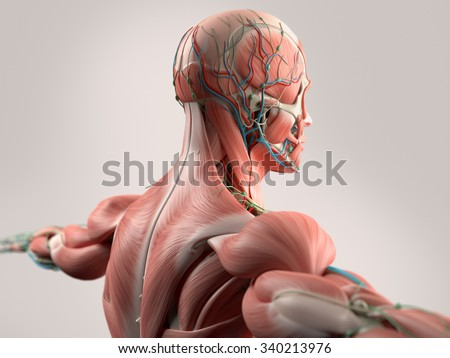 Human Anatomy Showing Face Head Shoulders Stock Illustration